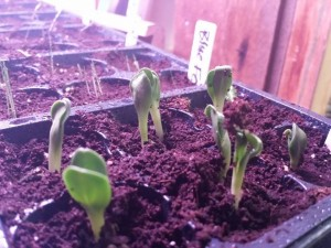 cardoon seedlings